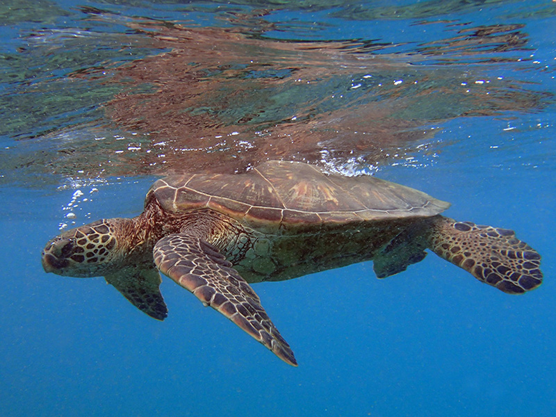 Hawaiin Green Sea Turtle
